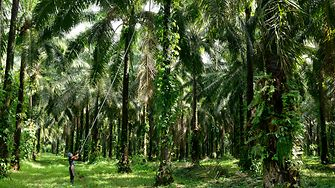 Man harvesting palm fruits in the palm forest